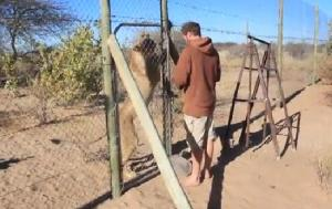 【怖くない動画】お腹をすかせたライオンの檻を開けてしまう男性