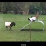 スゴ可愛いヤギのバランス感覚。てか、この遊具が気になるよ。