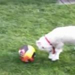 羊さんの無駄なジャンプが可愛すぎる!子羊のボール遊び!