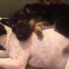 【画像】大きなお兄ちゃん犬の背中!いつまでも、そう思っているシェパード!