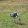 【衝撃の捕食】食物連鎖こわい!ホリネズミを食べて飲み込むアオサギ!