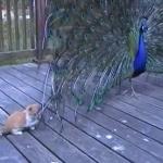 ネコVS孔雀!?クジャクの羽で大いに遊ぶ子猫!