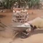 羊の頭突きってこんなに強烈だったの!?コンクリートブロックを吹き飛ばすぶちかまし!