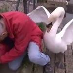 無償の愛!金網に詰まった白鳥の子を助ける男!