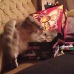 育ちすぎた!小さな箱に入りたがるけど頑張っても頑張っても入れない猫!
