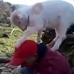 ヤギの登りたがる習性は底なしか!?石敷き詰めてる作業者にまで乗っちゃう!