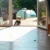 ドア開いているのに入らない犬!ご主人様が鍵あけるまでは入れないの!