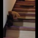 階段を転げ落ちるのも可愛い子猫。ローリング子猫スペシャル!