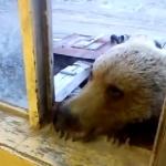 窓の外にクマさんが居たらロシアではクッキーを与えるらしい!