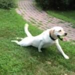 両足が不自由ではない犬。つまり元気なワンちゃんです!