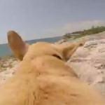 泳ぐことを許された犬!走る走るよ海まで走る!犬の背中に搭載したカメラで撮影!