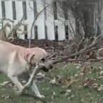 犬がみつけた枝は長すぎた!門の外から木の枝を持ち帰ろうとした犬!