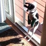 両足(両前足)を骨折しちゃった犬!逆境をバネにして本当にバネっぽく歩く!