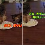お皿を舐めるのは僕のお仕事なんだからねって感じの犬(ヨーキー)