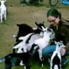 何匹もの小ヤギに押し倒されるお姉さん