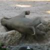 溝にはまって転んでしまった小象をあっという間に救出するアジアゾウの夫婦