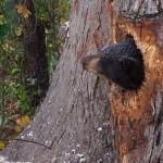 どうやって入ったの!?木の内側から助けを求める小熊さん!