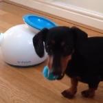 何回でも遊ぶの!iFetchという犬用の自動ボール投げ機で永遠に遊ぶワンコが可愛い!
