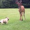 犬vs鹿!ボクの庭から出て行け!野性の鹿を追い払おうとするフレンチブルドッグ!