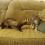 ネコとフェレットが初対面する面白動画!もっとみたいのに13秒だけしかない!