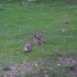 庭でポップコーンがはじけてると思ったらウサギだった・・・という面白動画!