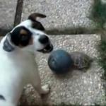 「カメがボールを取ってっちゃうよー」と悲痛な声で御主人さまに訴えるかける犬!
