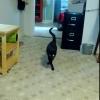 モデル歩きをする黒猫!気分は常にファッションショー!