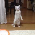 立ったまま後ろ向きに歩く猫!2本足でバックする後ろ歩きネコが大流行中!