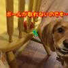 椅子の向こうのボールが取れない悲しい犬!回り込めば取れると気がついたのに!?