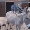 やっぱり高いトコが好き!ロバの背中に乗る2匹のヤギさん!