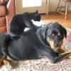 大きな犬の背中に乗ってマッサージをしてあげる猫!