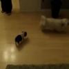 ストーカーの子豚さん!室内で小さいワンちゃんの後ろを追いかけ続ける!