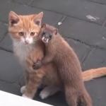 子猫はもっと怒ってもいいと思う!コネコのお散歩を徹底的に邪魔するイタチが懐っこすぎる!
