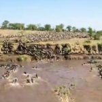 大移動する150万頭のヌーの群れを微速度撮影!