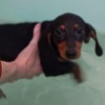 お風呂で泳ぐ練習をする犬!ご主人様と湖で遊びたいから犬かき頑張るの!
