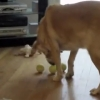 これは面白い!同時に3つのテニスボールをくわえた犬が見せた最高の笑顔!