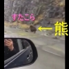 熊の走る速度がこんなに速いなんて!車と併走するクマさん!