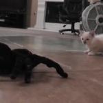 蜘蛛のリモコンおもちゃと戦う子猫が可愛い!