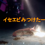 伊勢海老つかみ取りダイビング!海底を無防備に歩くイセエビを大量ゲット・・・のはずだった!