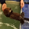 保護されたラッコの赤ちゃん可愛すぎ!水に浮かぶ練習をする様子とか!