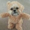 シーズ犬がテディベアになっちゃった!?愛犬にテディベアの服を着せてみたよ!