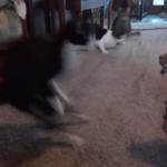 ピクリとも動かないボブキャットの剥製に驚き逃げ惑う4匹の猫!その後の再挑戦動画も!