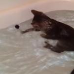 お風呂が大好きな猫!泳ぎながらペットボトルのフタで遊ぶの!