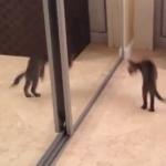 はじめての鏡で戦闘モードになる猫
