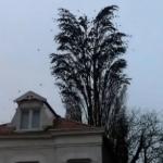大木から飛び立つ無数の鳥!大木をしならせる程の大群だった!