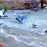 氷の上のハト。鳩って氷上で意外と滑っちゃうんだー!
