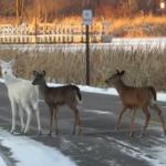 真っ白な鹿!?ヤギみたいだけど本物のアルビノ鹿!