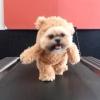 大人気のテディベアを着たシーズー犬!今回は歩く練習をしているゾ!