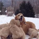 もみくちゃ!9匹の子犬に群がられるお母さんレトリバー!