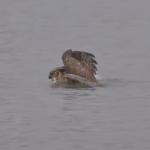 ミシガン湖をバタフライで泳ぐフクロウ!
